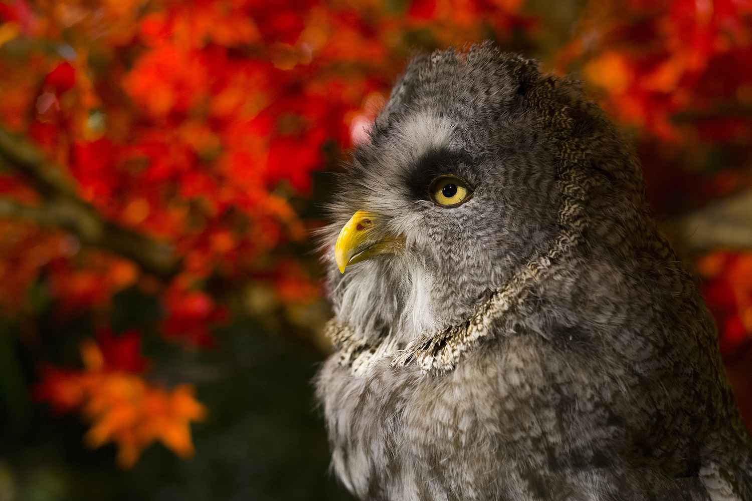 Great Grey Owl – Kyoto
